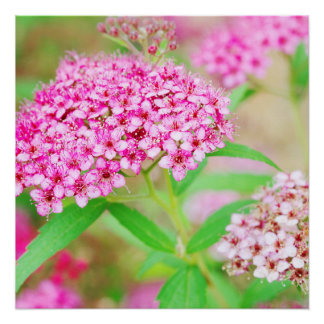 Pink Flower Burst Poster Perfect Poster