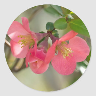 Pink Flowering Quince Glow Classic Round Sticker