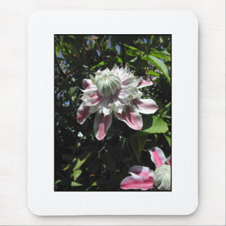 Pink flowers. Clematis. Stylish design. Mouse Pad