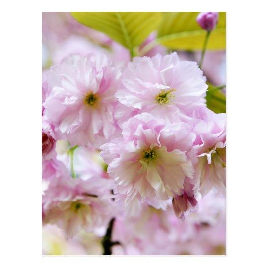 Pink flowers on Japanese cherry tree in city garde Postcard