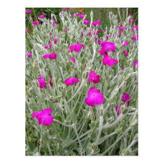 Pink Flowers-Rose campion in an English Garden Postcard