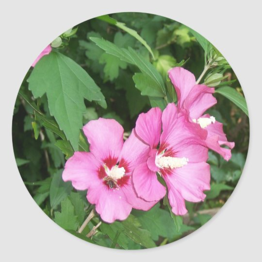 Pink Flowers Rose of Sharon with Bee Classic Round Sticker