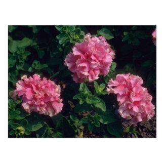 Pink Garden Petunia (Petunia Hybrida) flowers Postcard