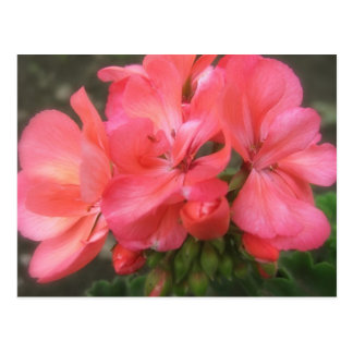 Pink Geraniums 2 Postcard