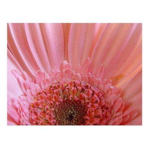Pink Gerbera Daisy 731 Postcards