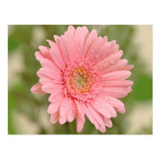 Pink Gerbera Daisy Flower - Hello Miss You, Love Postcard