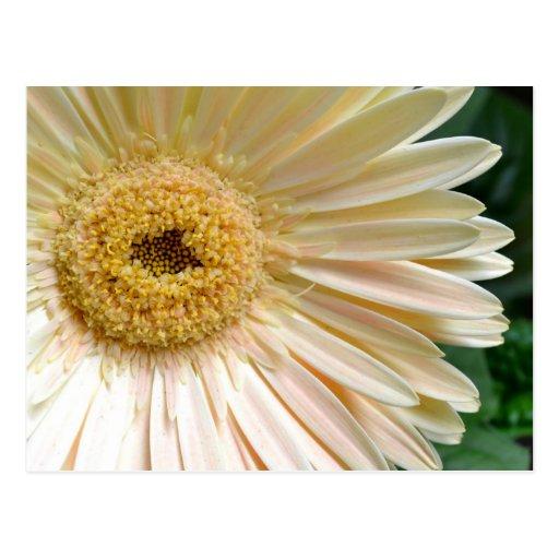 Pink Gerbera Daisy Flower Postcard