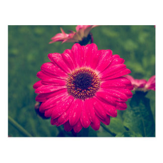 Pink Gerbera Daisy in Bloom Postcard