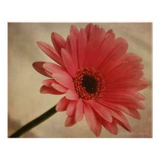 Pink Gerbera Daisy - Photographic Print