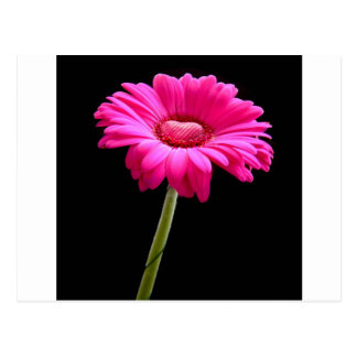 Pink gerbera with heart on black background postcard