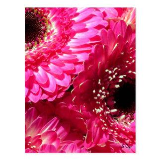 Pink Gerberas Postcard