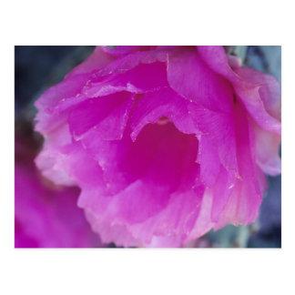 Pink Hedgehog Cactus blossom (Echinocereus Postcard