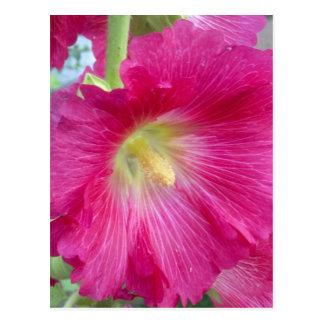 Pink Hollyhock Flower Postcard