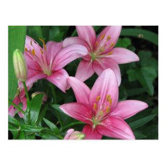 Pink Lily Postcard