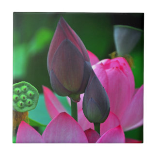 Pink Lotus Blossoms Tile