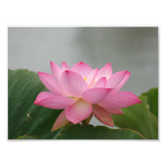 Pink Lotus flower Photographic Print