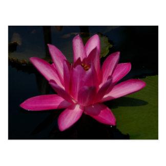 Pink Magenta Lotus Waterlily Postcard