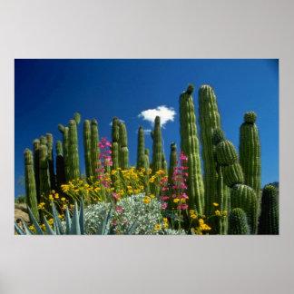 Pink Many plants, Sonoran Desert, Arizona flowers Poster