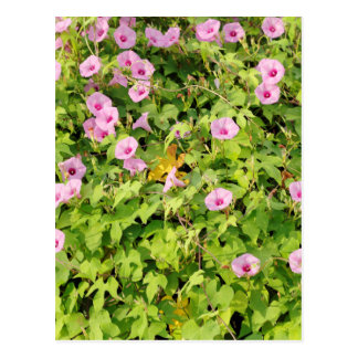 Pink Morning Glories Bush Postcard