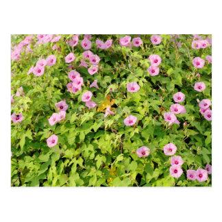 Pink Morning Glories Bush Postcard