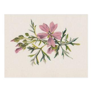 Pink Musk Mallow Flower (Hulme) Botanical Postcard
