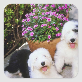 Pink Old English sheepdogs flowers Square Sticker