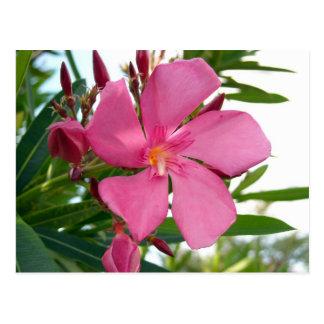 Pink Oleander Photo Postcard