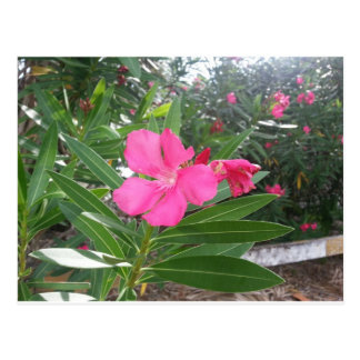 Pink Oleander Postcard