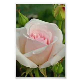 Pink Ophelia Hybrid Rose Photo Art