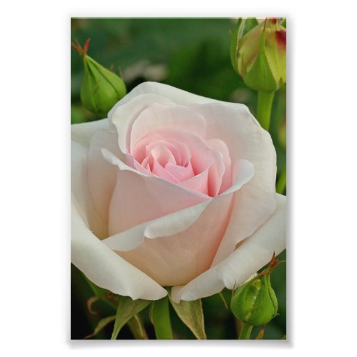 Pink Ophelia Hybrid Rose Photograph