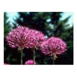 Pink Ornamental Garlic, (Allium Aflatunense) flowe Postcard