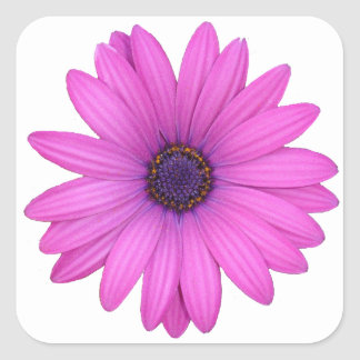 Pink Osteospermum and Transparent Background Square Sticker