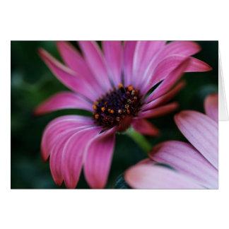 Pink osteospermum card
