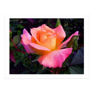 Pink Peach and Yellow Rose postcard