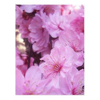 Pink Peach Blossoms Postcard