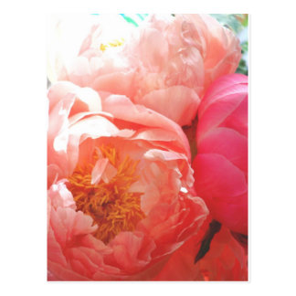 Pink Peonies -- pretty in pink Post Card