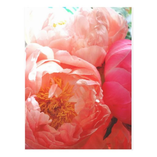 Pink Peonies -- pretty in pink! Post Card