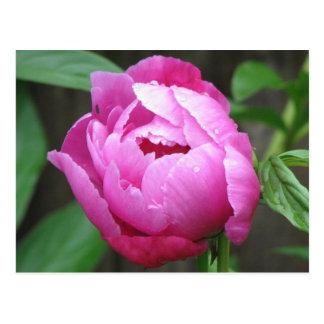 Pink Peony Bloom Postcard