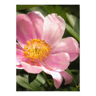 Pink Peony Flower Fully Open Card