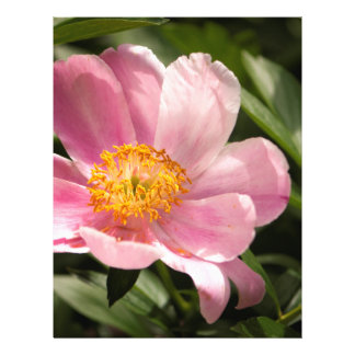 Pink Peony Flower Fully Open Flyer