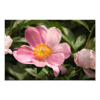 Pink Peony Flower Fully Open Photo