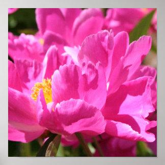 Pink Peony print