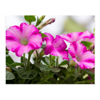 Pink Petunia Passion Postcard