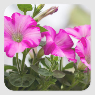 Pink Petunia Passion Square Sticker