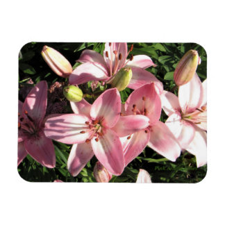 Pink, Pink White Asiatic Lilies Magnet