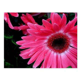 Pink Pinwheel Postcard