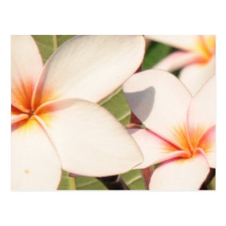 Pink Plumeria Blossoms Postcard