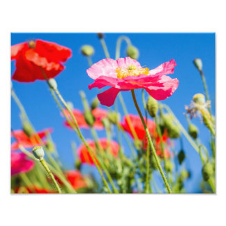 Pink Poppies Flower Photography Art Photo