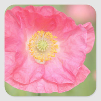 Pink Poppy Square Sticker