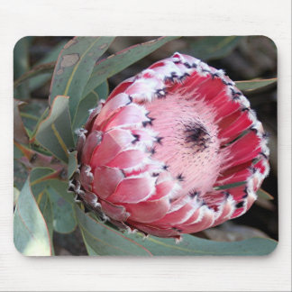Pink protea flower in bloom mouse pad